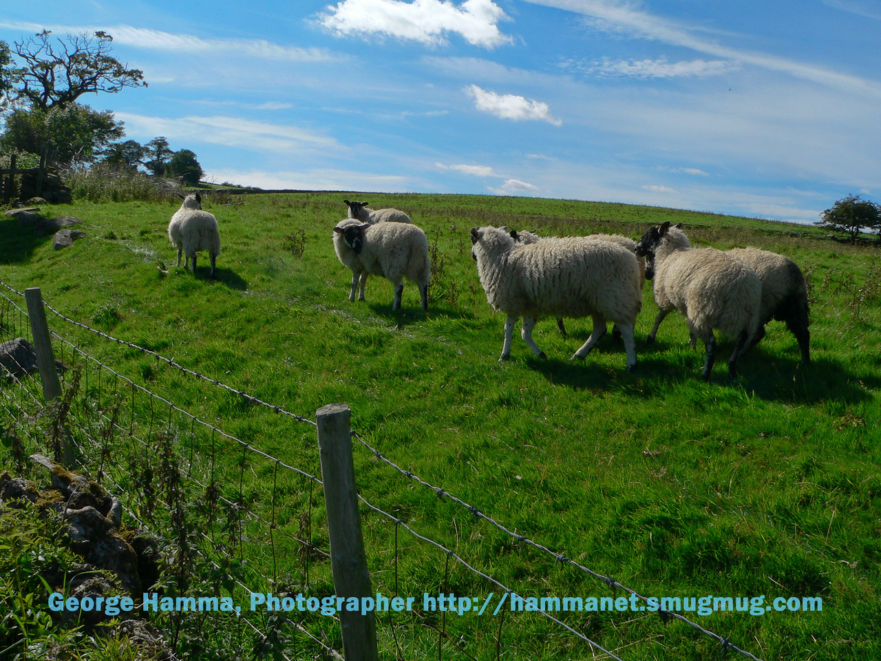 Sheep in lake country