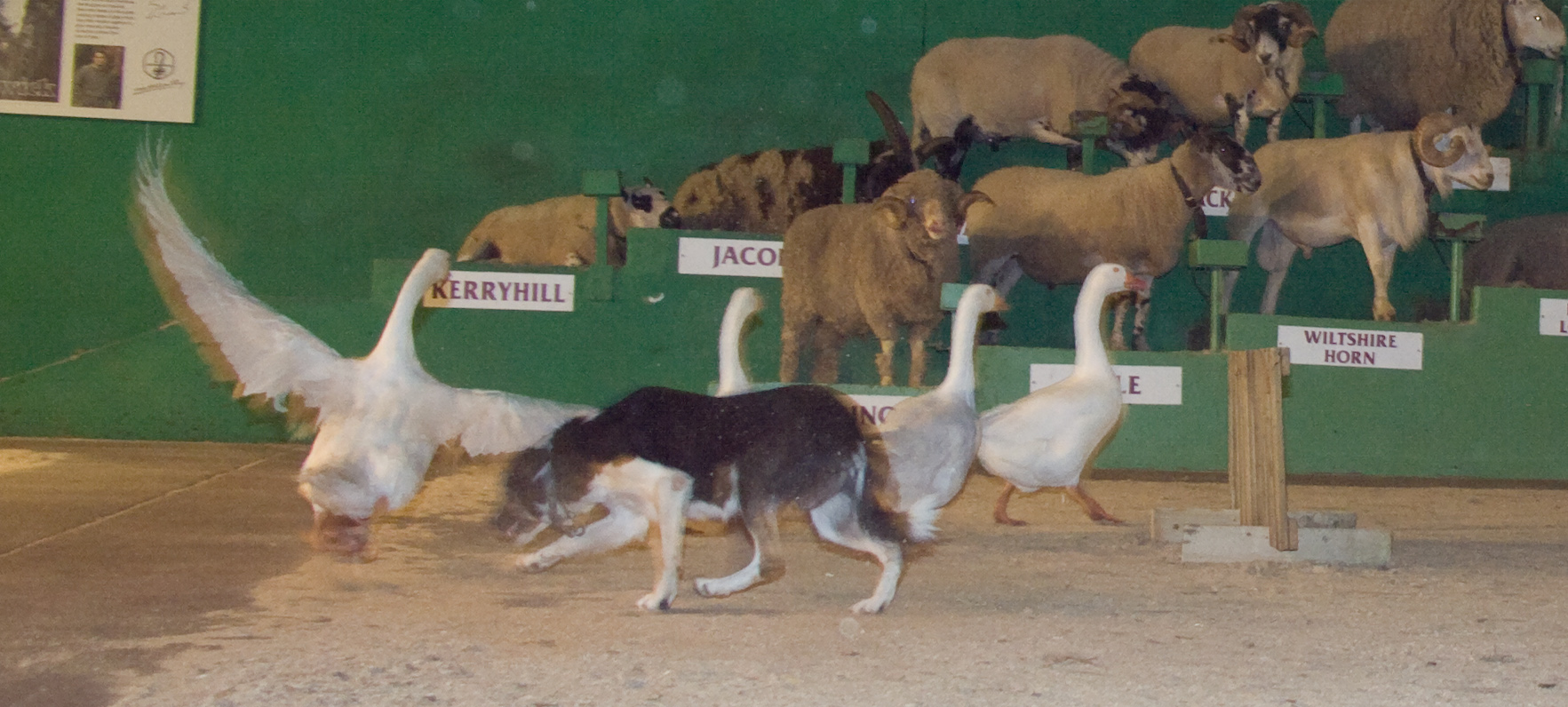 Sheep dog herding demonstration with geese