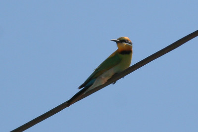 Rainbow Bee-eater (Merops ornatus) - Agnes Water & Town of 1770, September 2009