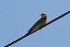 Rainbow Bee-eater (Merops ornatus) - Agnes Water & Town of 1770, September 2009