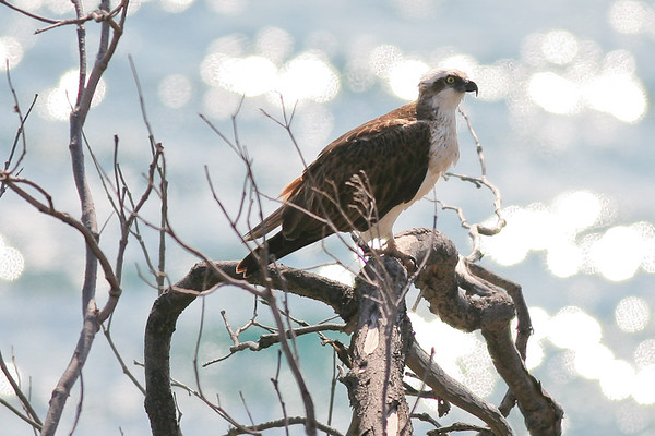 Magestic seabird - Osprey (Pandion haliaetus) - at Round Hill Head - Agnes Water & Town of 1770, September 2009