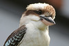 This very calm Kookaburra (Dacelo novaeguineae) parked himself on the next-door balcony, and cooperated with the photographer - Agnes Water & Town of 1770, September 2009