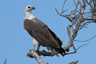 White-breasted Sea Eagle (Haliaeetus leucogaster) (White-bellied Sea Eagle) - Agnes Water & Town of 1770, September 2009