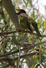Red Eyed Figbird (Male Figbird) (Sphecotheres viridis) - Agnes Water & Town of 1770, September 2009