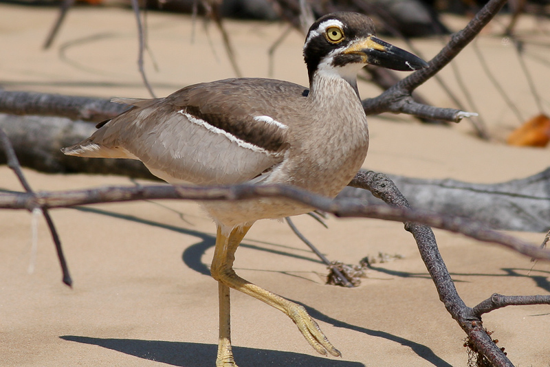 Beach-Stone Curlew (Esacus neglectus), seen from the L.A.R.C., north of Town of 1770 - September 2009