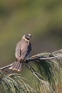 Noisy Friar Bird (Philemon corniculatus (meliphagidae)) at Round Hill Head - Agnes Water & Town of 1770, September 2009