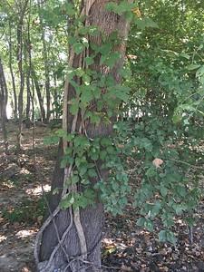Incredibly vigorous poison ivy