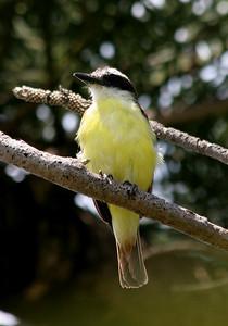 Kiskadee Flycatcher - Bermuda
