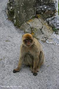 Barbarty macaque on Gibraltar.