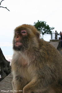 Barbarty macaque on Gibraltar.