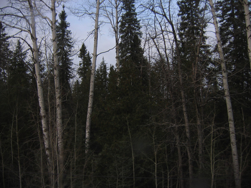 Lots of stands of Birch trees