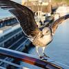 Seagull alighting for some breakfast leftovers