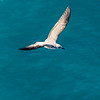 Seagull hovering for food