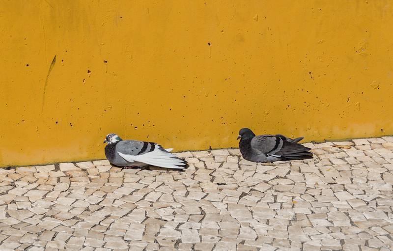 Pigeons sunning