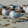 "<a href=""https://en.wikipedia.org/wiki/Royal_tern%20"" target=""_blank"">Royal Terns</a>"