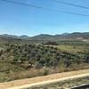 Olive plantations