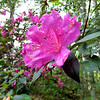 The Azaleas were in full bloom when we left Yalaha, FL on March 9
