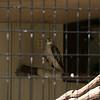 Milford Lake KS Hawk: Kriders Hawk