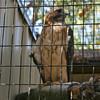 Milford Lake KS Hawk: Red Tailed Hawk