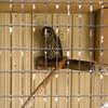 Milford Lake KS Barred Owl