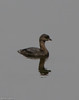 Pied-billed grebe.