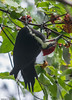 Male pileated woodpecker feeding on dogwood berries at Marjie's