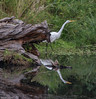 White egret at Goodpasture Island ponds.