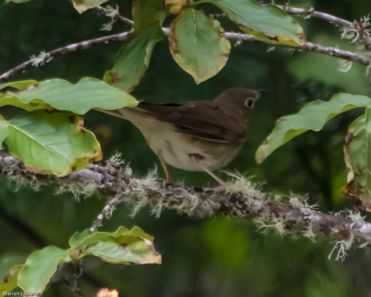 Swainson's thrush feeding on dogwood berries at Margie's