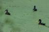 Wood ducks and a mallard drake at the Beaver Pond at Elijah Bristow SP