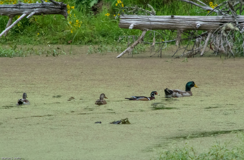 Wood ducks and a mallard drake at the Beaver Pond at Elijah Bristow SP