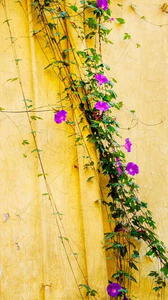 The glory of purple morning glory vining on yellow pipes