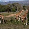 _DSC7717e Reticulated Giraffe