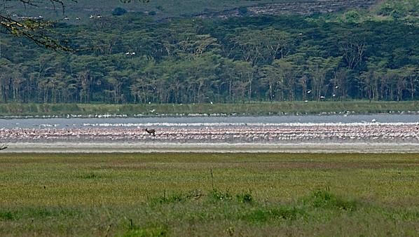 _DSC7286e Lake Nakuru & Flamingos