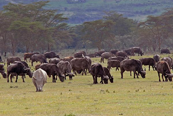 _DSC7419e Cape Buffalo & White Rhino