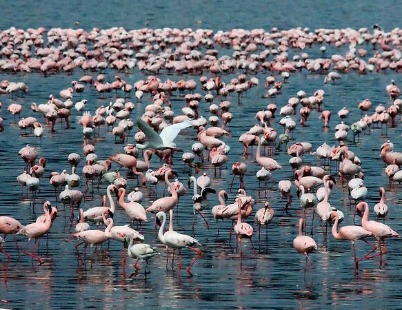 _DSC7351e Flamingos & Spoon-billed Stork Flying