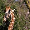 _DSC7704e  Reticulated Giraffe