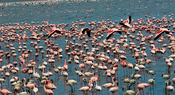 _DSC7355e Flamingos