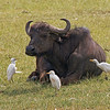 _DSC7343e Cape Buffalo & Cattle Egrets