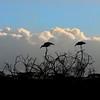_DSC7542e Marabou Stork Silouette
