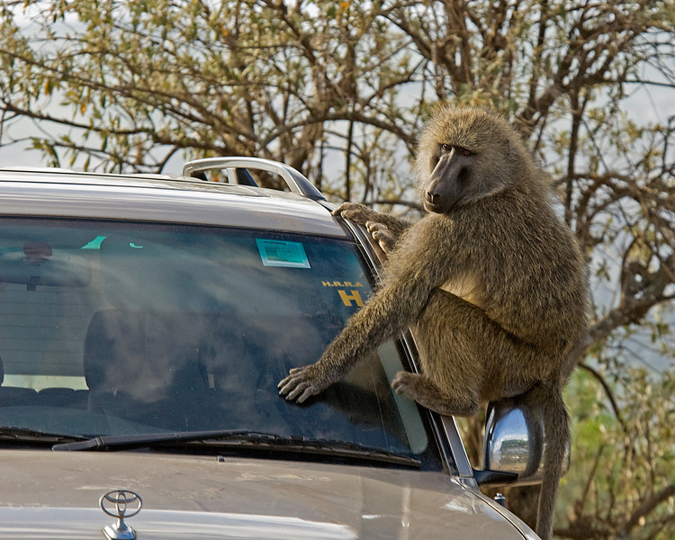 _DSC7504 Baboons at Lookout On Car
