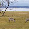 _DSC7426e Lake Nakuru & Flamingos Burchell's Zebra