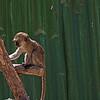 _DSC7294e Vervet Monkey P