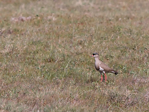 _DSC7663e Crowned Lapwing