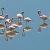 _DSC7723e Flamingos
