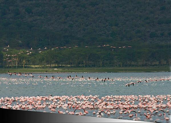 _DSC7358e Flamingos