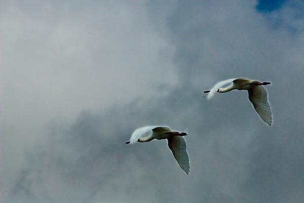 _DSC7352e Spoon-billed Stork Flying