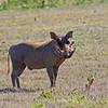 _DSC7668e Warthog