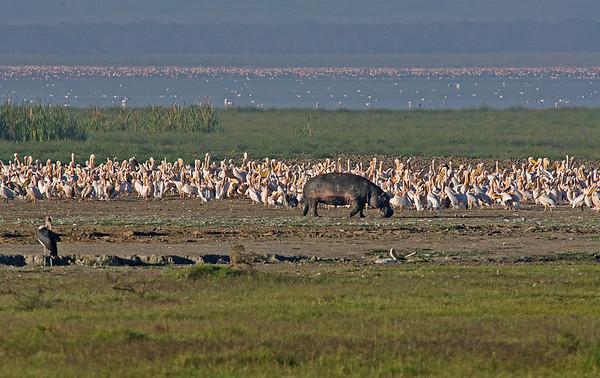 _DSC7608e Hippo Pelicans