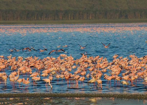 _DSC7561e Lake Nakuru & Flamingos