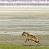 _DSC7473e Spotted Hyena